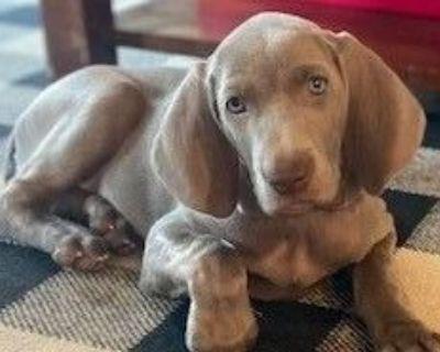 Female Weimaraner Puppies - Los Angeles Area