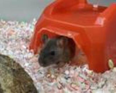 Adopt THEO a Rat