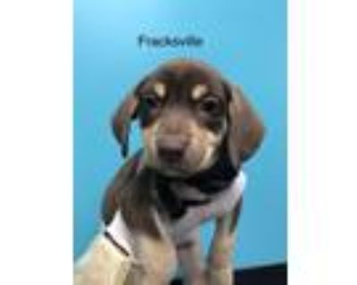 Adopt Frackville a Brown/Chocolate - with Tan Shepherd (Unknown Type) / Husky