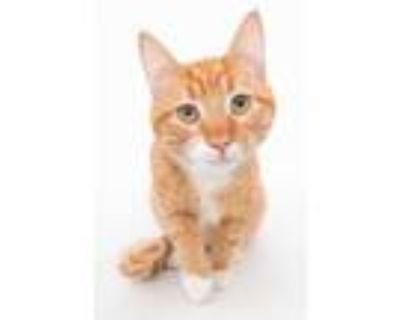 Adopt Milo a Orange or Red Domestic Shorthair / Domestic Shorthair / Mixed cat