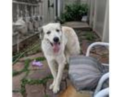 Adopt Hugh a White - with Tan, Yellow or Fawn Great Pyrenees / Mixed dog in Long