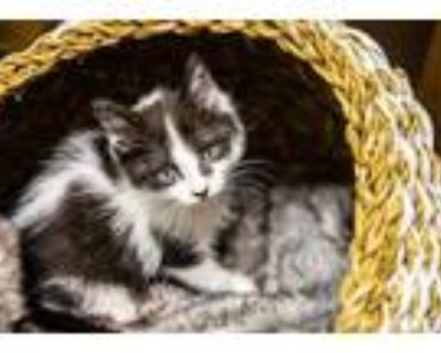 Adopt Polihale a White Domestic Shorthair / Domestic Shorthair / Mixed cat in