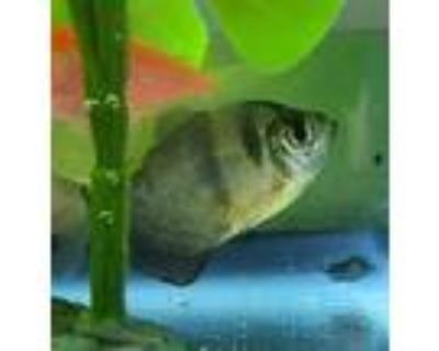 Adopt a Fish reptile, amphibian, and/or fish in Golden, CO (32051253)