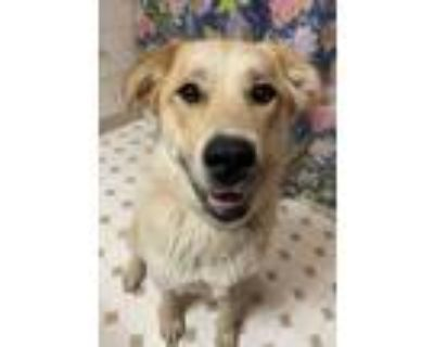 Adopt Pearl a Great Pyrenees, Husky