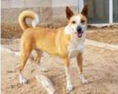 Adopt BLONDIE a German Shepherd Dog, Australian Cattle Dog / Blue Heeler
