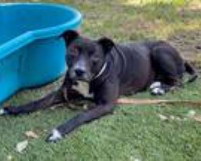 Adopt SOPHIE a Black - with White Labrador Retriever / American Pit Bull Terrier