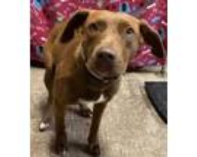 Adopt Pepper a Brown/Chocolate Labrador Retriever / Mixed dog in West Chester
