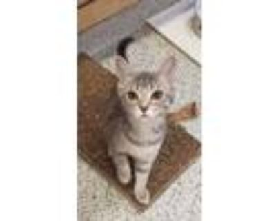 Adopt Fern a Gray or Blue Domestic Shorthair / Domestic Shorthair / Mixed cat in