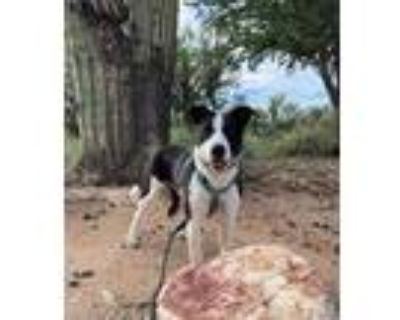 Adopt STELLA a Black - with White Border Collie / Mixed dog in Tucson