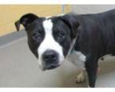 Adopt ISABELLE a Pit Bull Terrier