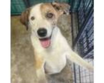 Adopt Dean a White - with Tan, Yellow or Fawn Hound (Unknown Type) / Retriever