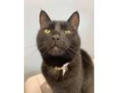 Adopt Willow a All Black Domestic Shorthair / Mixed (short coat) cat in