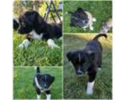 Adopt Skunk a Black - with White Border Collie / Mixed dog in Idaho Falls