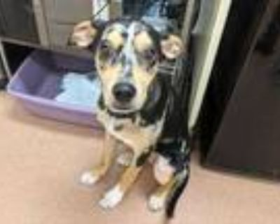 Adopt Brandy a Black Catahoula Leopard Dog / Mixed dog in Boulder, CO (31915745)
