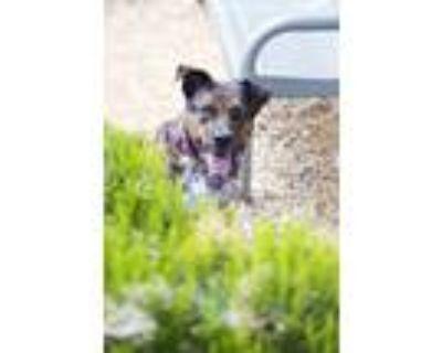 Adopt Wrangler a Australian Cattle Dog / Blue Heeler