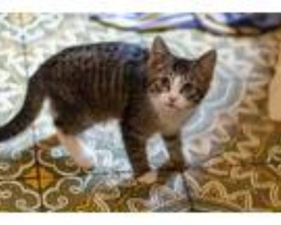 Adopt Warrick Brown a Brown or Chocolate Domestic Shorthair / Mixed cat in