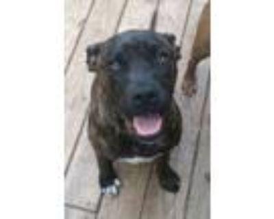 Adopt Mr Jingles a Boxer, Labrador Retriever