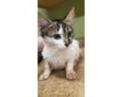 Adopt FUFU a White (Mostly) Domestic Shorthair / Mixed (short coat) cat in