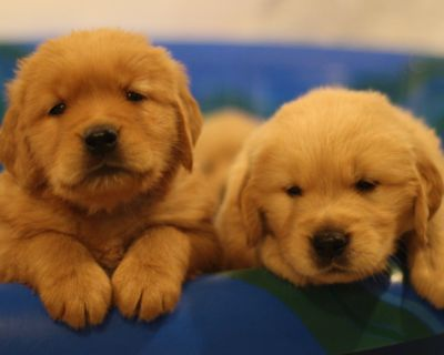$1400 Golden Retriever Puppies Available