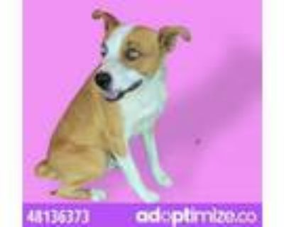 Adopt 48136373 a Australian Cattle Dog / Blue Heeler, Mixed Breed