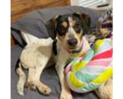 Adopt Roo a White - with Brown or Chocolate Beagle / Rat Terrier / Mixed dog in