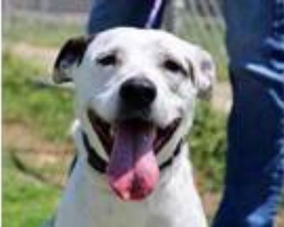 Adopt LUNA a White American Pit Bull Terrier / Mixed dog in Fort Worth