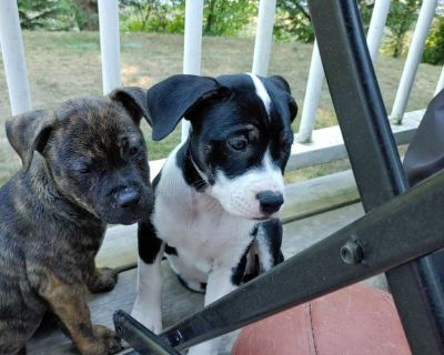 Pitsky puppies 8weeks old