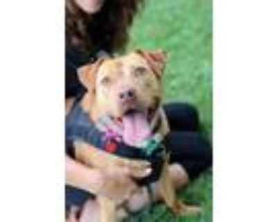 Adopt Diva a Red/Golden/Orange/Chestnut Labrador Retriever / Mixed dog in