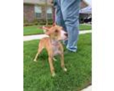 Adopt Murphy a Tan/Yellow/Fawn - with White Boxer / American Staffordshire