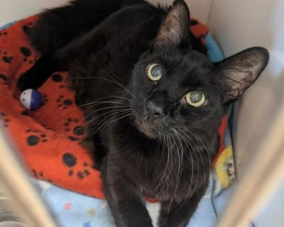 Male Domestic Short Hair named Artemis available for adoption
