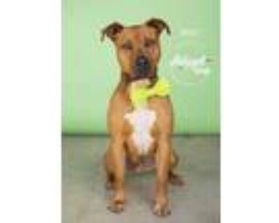 Adopt Wyatt a Tan/Yellow/Fawn American Pit Bull Terrier / Mixed dog in Visalia