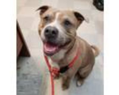 Adopt DUFFY a Pit Bull Terrier, Mixed Breed