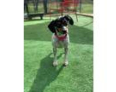 Adopt Bug a Dachshund, Jack Russell Terrier