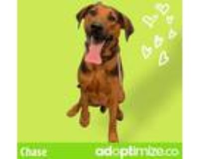 Adopt CESAR a Brown/Chocolate - with Black German Shorthaired Pointer / Mixed