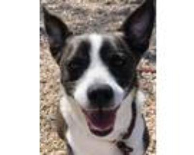 Adopt Selena a Australian Cattle Dog / Blue Heeler, Mixed Breed