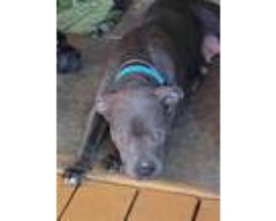 Adopt MAVIS a Gray/Blue/Silver/Salt & Pepper American Pit Bull Terrier / Mixed