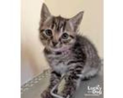 Adopt Finley a Brown Tabby Domestic Shorthair / Mixed (short coat) cat in