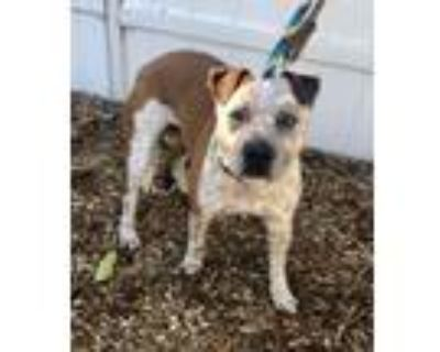Adopt Roscoe a Australian Cattle Dog / Blue Heeler, American Staffordshire