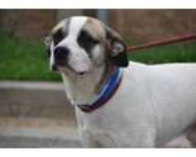 Adopt Zorro a White Retriever (Unknown Type) / Hound (Unknown Type) / Mixed dog