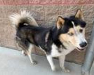Adopt *HARVEY a Black - with White Husky / Mixed dog in Modesto, CA (32052117)