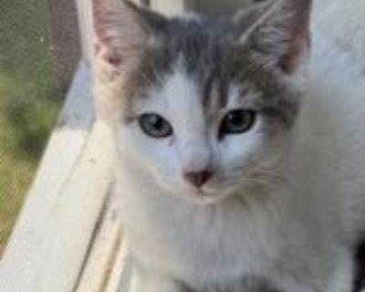 Quincy - Domestic Shorthair - Kitten Male