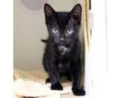 Adopt Hanna a All Black Domestic Shorthair / Domestic Shorthair / Mixed cat in