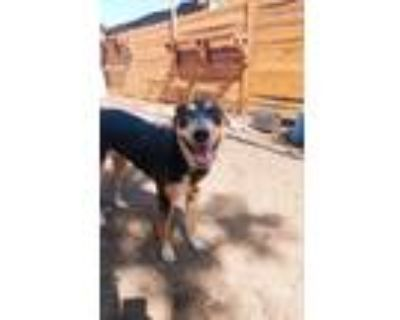 Adopt Olive a Black - with Tan, Yellow or Fawn Australian Kelpie / Mixed dog in