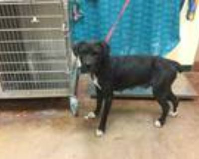 Adopt Dog a Black - with White Mastiff / American Pit Bull Terrier / Mixed dog