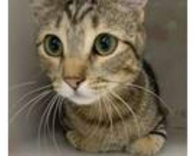 Adopt Gordita a Domestic Shorthair / Mixed cat in Houston, TX (32143296)