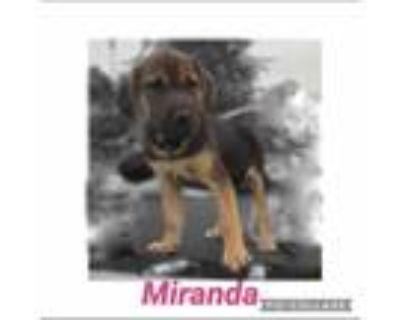 Adopt Melinda a Black - with Tan, Yellow or Fawn Labrador Retriever / Mixed dog