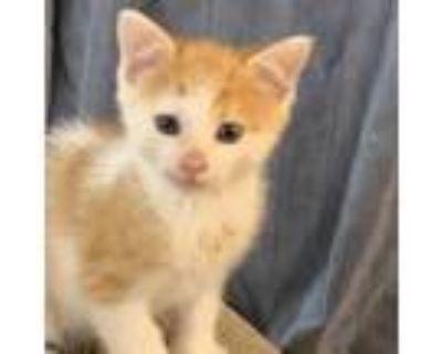 Adopt Leo a Orange or Red Domestic Shorthair / Mixed cat in Newport News