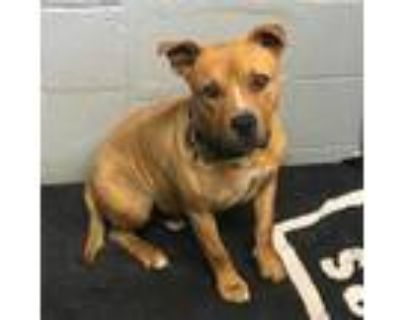 Adopt 47915305 a Tan/Yellow/Fawn American Pit Bull Terrier / Mixed dog in Los