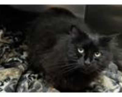 Adopt Nash a Black (Mostly) Domestic Longhair (long coat) cat in Loudon