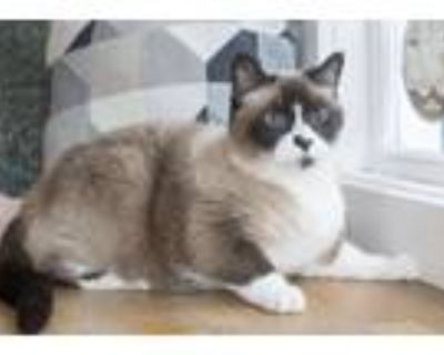 Adopt Sia a Brown or Chocolate (Mostly) Siamese (short coat) cat in Dayton